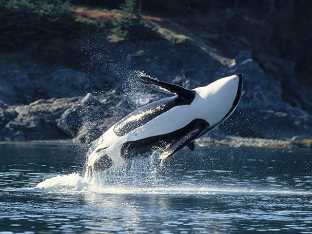 http://www.raydiving.com/images/Norsko/orcas_03_640x480.jpg